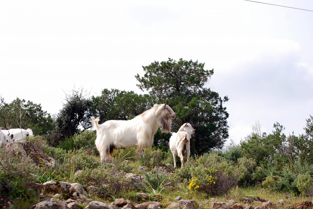 Hiking-at-Aegina-goats